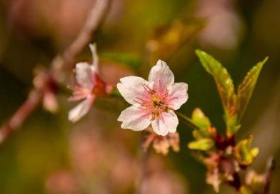 [Gallery]桜いろいろ@湊川神社'18