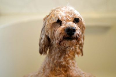 ToyPoodle takes a shower