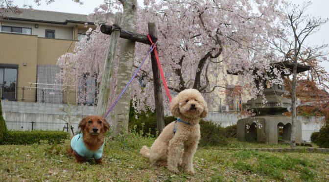 【今日のわんこ】桜の木の下