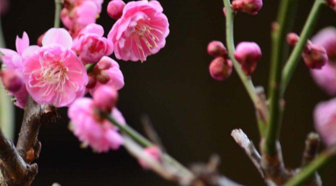 【花】庭の梅2015