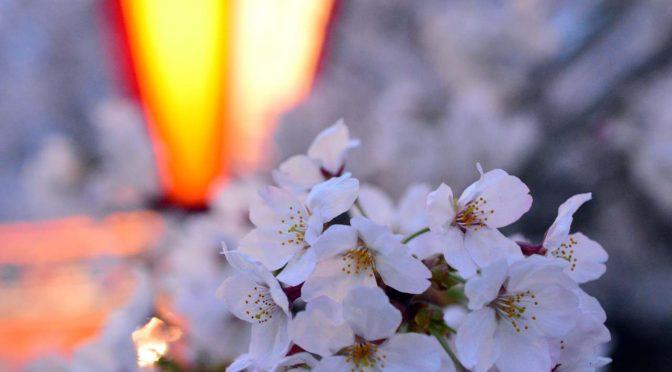 【桜】日岡山公園2015