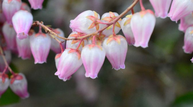 【写真】今年も庭に馬酔木が鈴なりに咲きました。