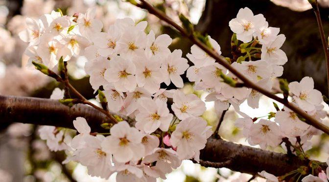 【桜】仕事場近くの桜'18