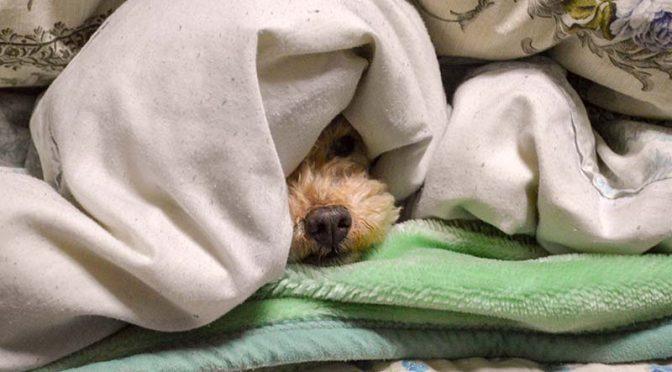 【今日のわんこ】寒い=布団18