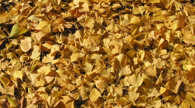 【壁紙】銀杏のカーペット@代々木公園
